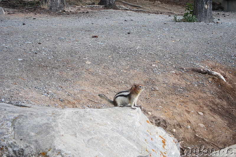 Chipmunk am Minnewanka Lake - See im Banff National Park in Alberta, Kanada